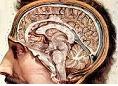 Ανοσοποιητικό, κεντρικό νευρικό σύστημα και υποθυρεοειδισμός