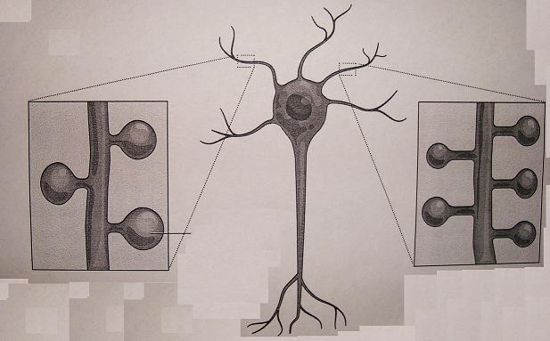 Η διαπλοκή των δενδριτών και ο ανθρώπινος εγκέφαλος
