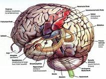 Βλαστοκύταρρα στο ΚΝΣ