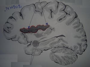 Οι «βραχείες» και οι «μακριές» έλικες της νήσου του εγκεφάλου